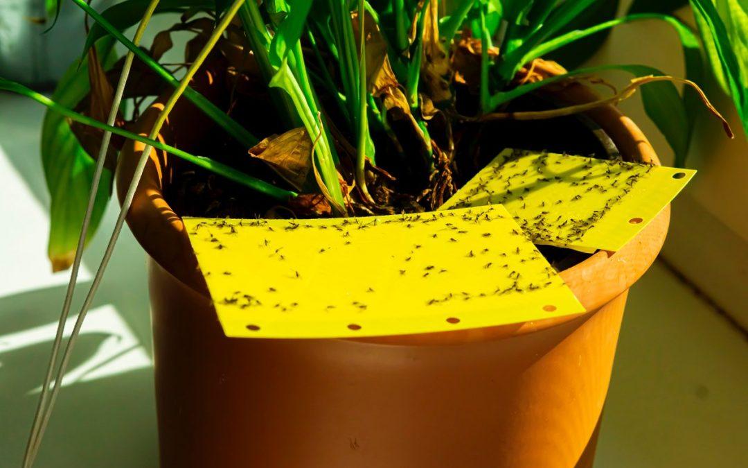 Heb je een fruitvliegjes plaag op je plant? Wij helpen je verder!